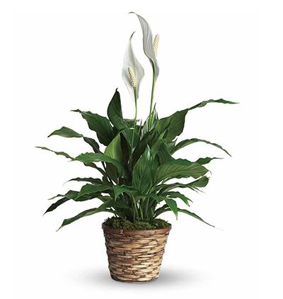 gerbera Çiçeklerinden buket Spatifilyum