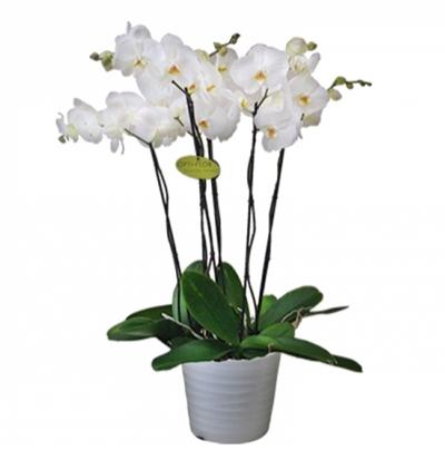 mor orkideler Seramikte 4 Dal Orkide