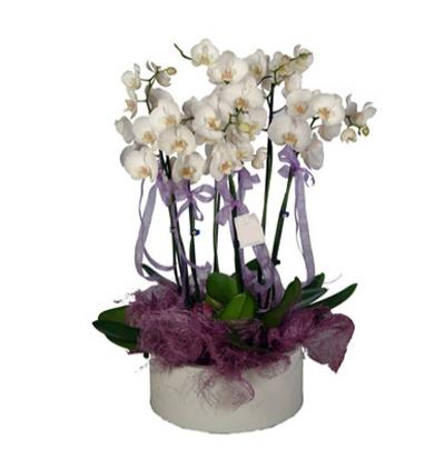phalanopsis orkide 6 Dal Beyaz Orkide