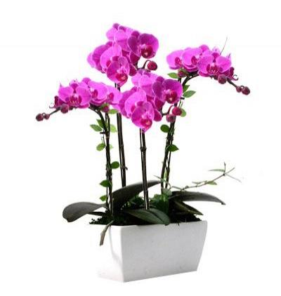 phalanopsis orkide 4 Dallı Mor Orkide