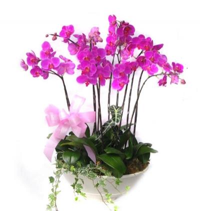 phalanopsis orkide 6 Dal Mor Orkide