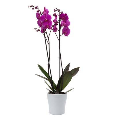 phalanopsis orkide Çiftli Mor Phalanopsis