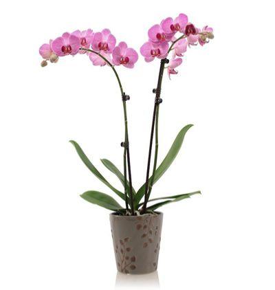 доставка цветов в анталии Две прекрасные орхидеи